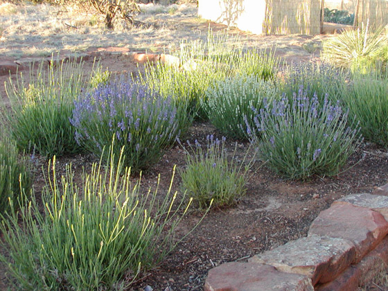 The Lavender Garden Was Begun In 2005. It Is 15 Ft. Long And 14 Ft. Wide.  In 2014 There Were Twenty Five Individual Plants Representing Nine  Varieties Of ...