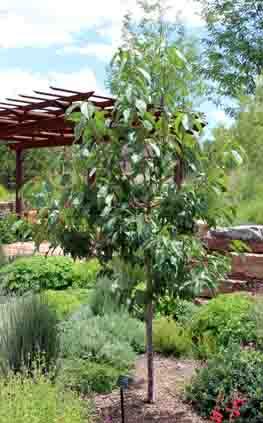 Sfbg Cherry Prunus Avium White Gold
